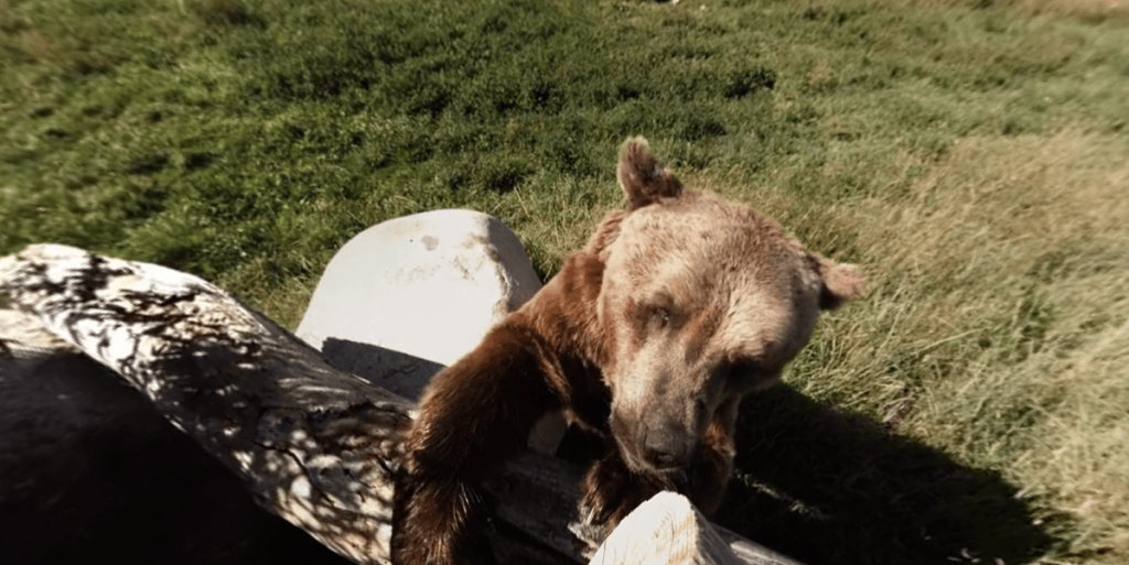 Grizzly Bear Snacking on 360 Camera