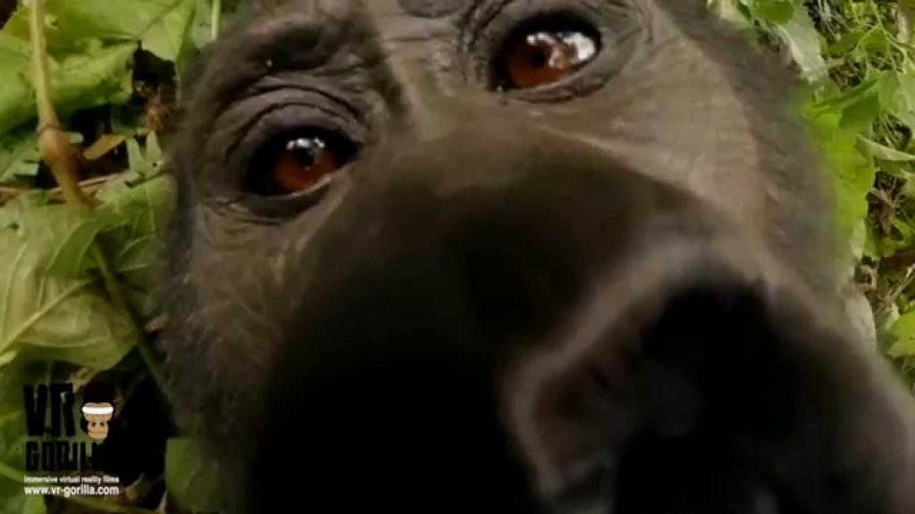 VR Gorilla 360° Safari Experience