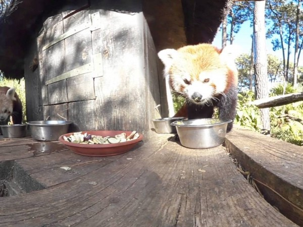 red panda 360 video